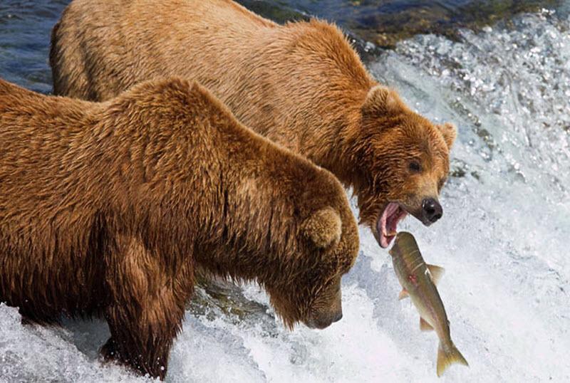 медведи ловят лосося на нересте видео