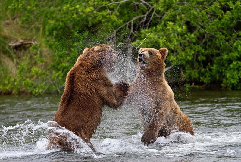 чем ловили медведей